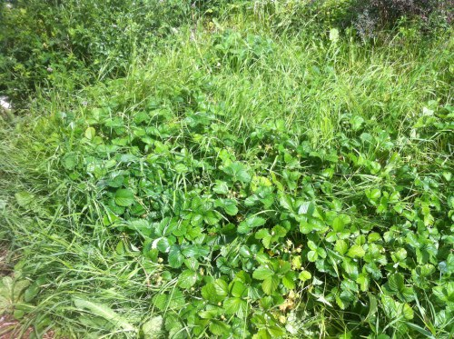 A bed of equal parts strawberries and quackgrass