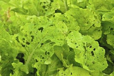g-snail-slug-lettuce-eaten-th501275975
