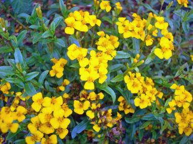 mint marigold 2